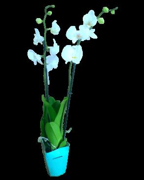 סחלב לבן ענף כפול