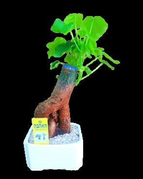 עץ אהבה בונסאי בכלי קטן